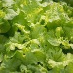 グリーンリーフのおすすめレシピと保存方法